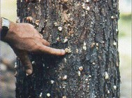 Southern Pine Beetle