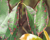 Photinia Leaf Spot Disease